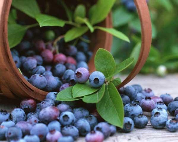 Korg med blåbär - gå ner i vikt, få lägre blodtryck och stärk minnet med blåbär.