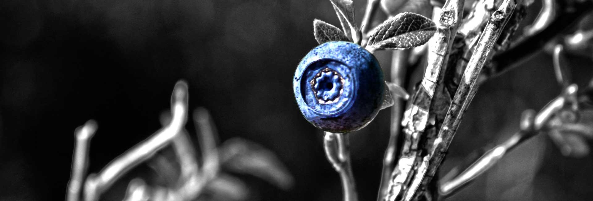 <strong>Blåbär motverkar tarmsjukdomar</strong>